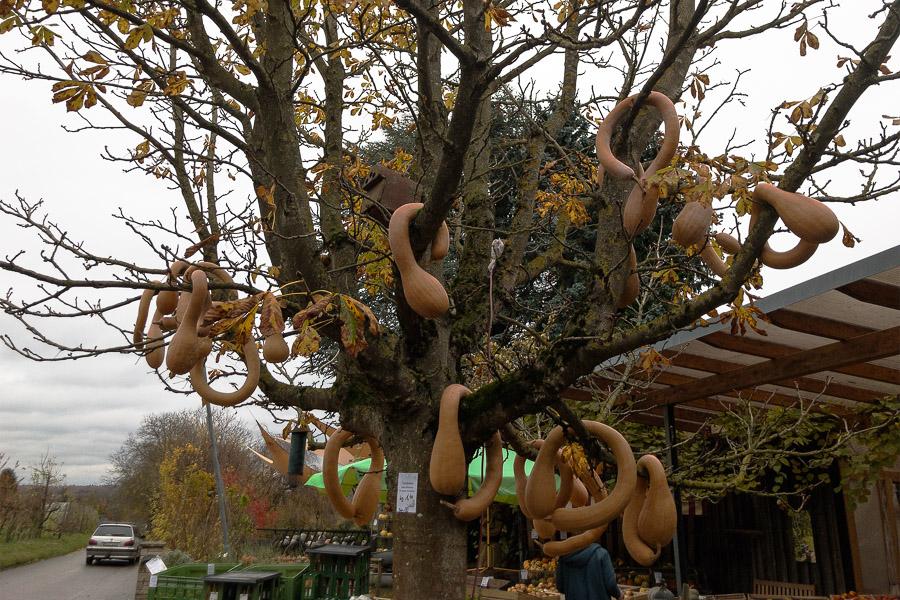 Kürbisbaum am Obsthof Wenz in Söllingen